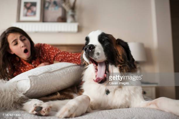 dog and young girl yawning at the same time sitting on bed at home - あくび ストックフォトと画像