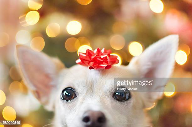 a dog as a christmas present - hair bow stock pictures, royalty-free photos & images