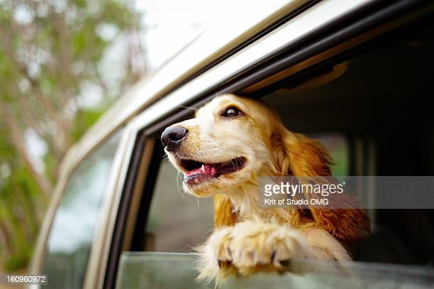 dog at car window - cocker spaniel stock photos and pictures