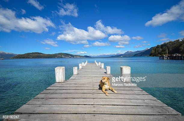 dog at dock - radicella stock photos and pictures
