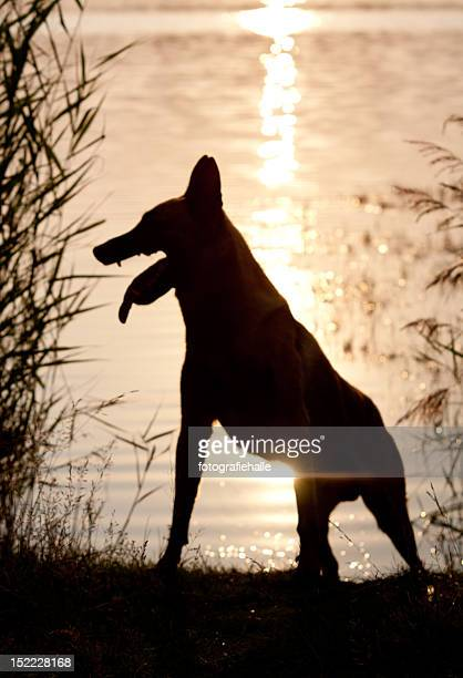 dog at lakeside - berger belge malinois photos et images de collection