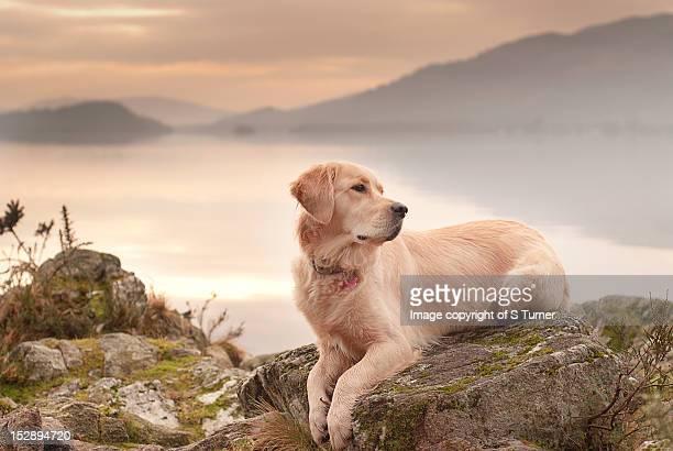 dog at sunset - golden retriever fotografías e imágenes de stock