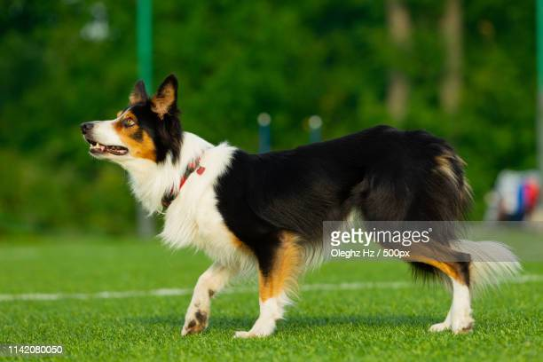 dog at the agility competition - epirus greece stock pictures, royalty-free photos & images