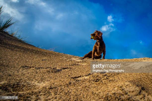 dog at the beach - alternative pose stock pictures, royalty-free photos & images