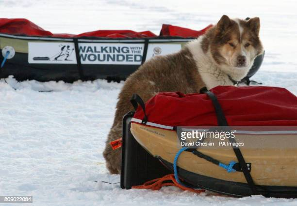 A dog at the Walking with the Wounded camp on the island of Spitsbergen who are training before they start their charity trek to the North Pole