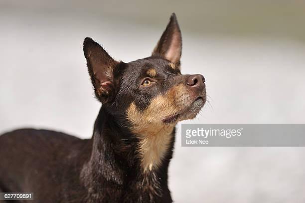 Dog Australian Kelpie