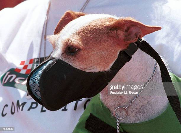 Dog awaits competition at the Incredible Dog Challenge hosted by the Purina Dog Food Company in Pomona, CA, April 2000. The winners will move on to...