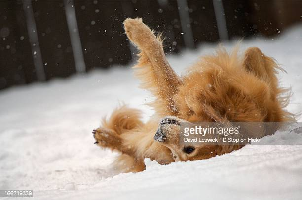 dog back scratch in the snow