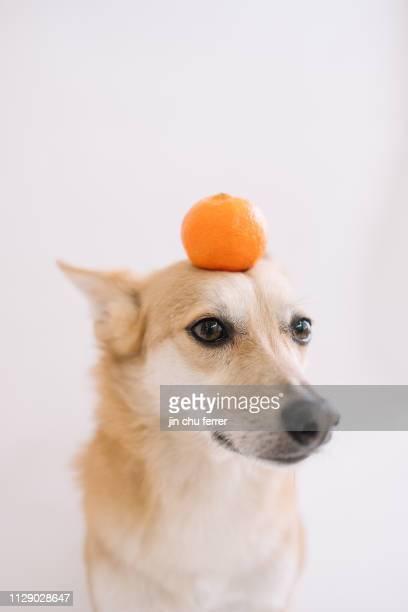 dog balancing an orange - 動物芸 ストックフォトと画像