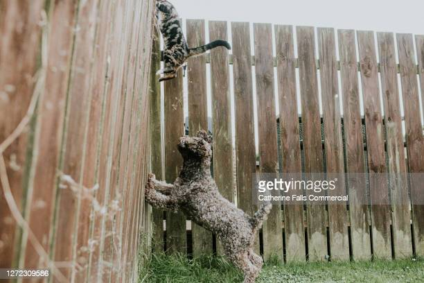 dog barking at a cat, cambering up a garden fence - domestic cat stock pictures, royalty-free photos & images