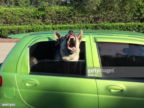 Dog barking from half opened window of a green car