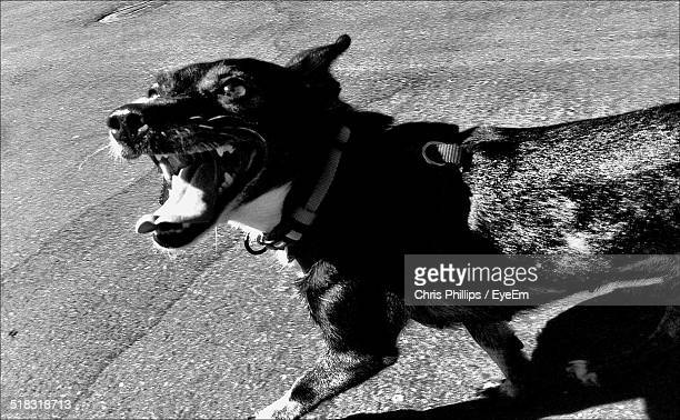 dog barking - chris barker stock pictures, royalty-free photos & images