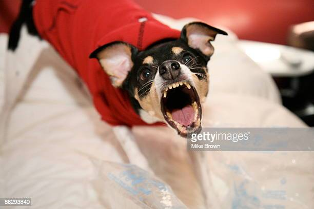 dog barking - aggression stock pictures, royalty-free photos & images