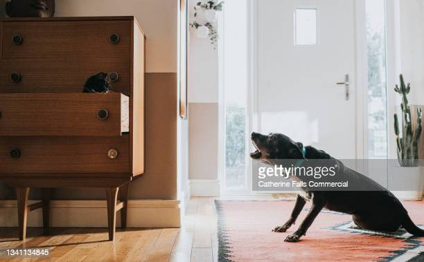 dog barks at a cat, who is sitting in a drawer. - animal behaviour stock pictures, royalty-free photos & images