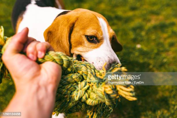 dog beagle pulls a rope and tug-of-war game with owner. canine background. - dogs tug of war stock pictures, royalty-free photos & images