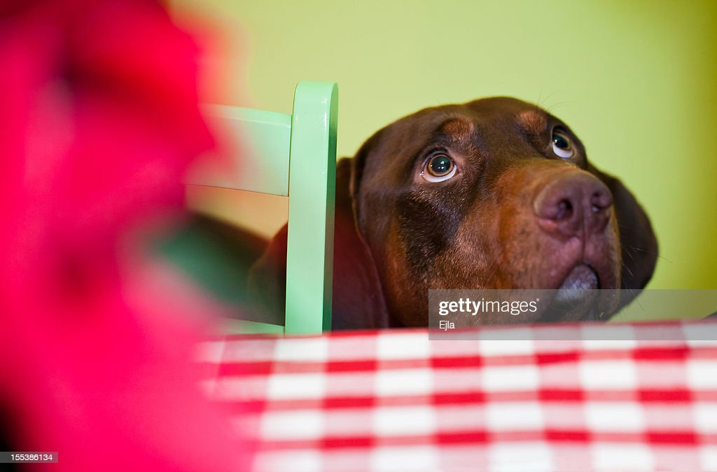 Brown dog standing quietly and waiting by the kitchen table begging with his eyes for food