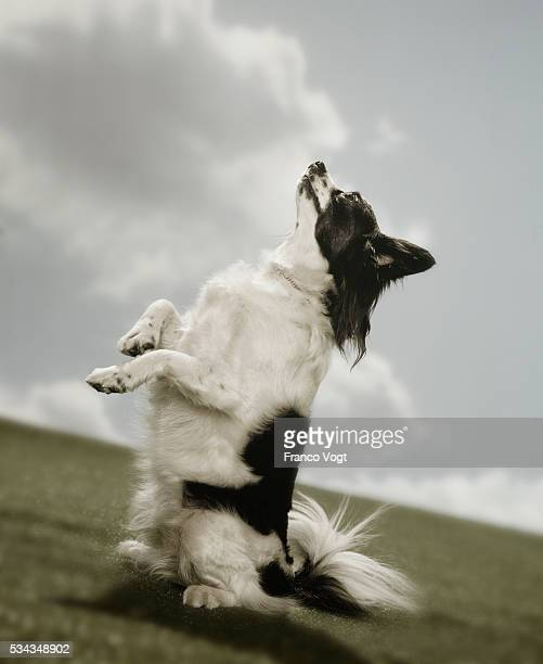 dog begging on hind legs - papillon dog stock photos and pictures
