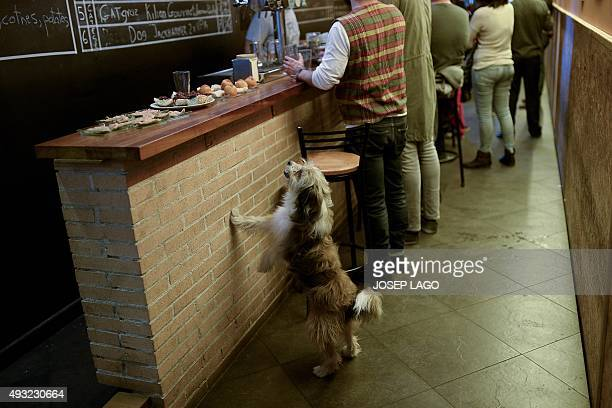 A dog begs for food in a bar of Barcelona on October 18 2015 AFP PHOTO/ JOSEP LAGO
