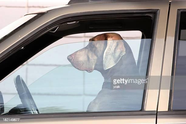 Dog behind the wheel