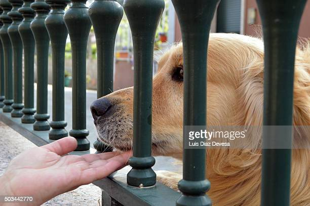 dog being petted - chinook dog stock photos and pictures