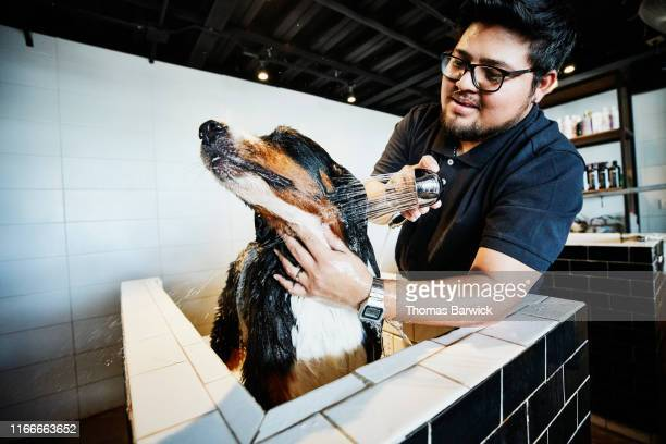 dog being rinsed by groomer during bath in pet shop - groom human role stock pictures, royalty-free photos & images