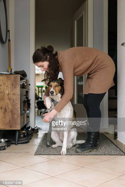 dog being taken for a walk: woman puts an animal harness on the dog - bending over in skirt stock pictures, royalty-free photos & images