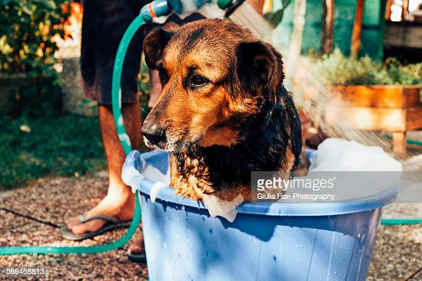 Dog being washed in the garden