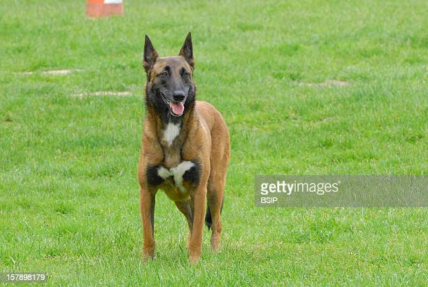 Dog Belgian Malinois Adult Female Belgian Laekenois Exercise Of Obediance 'Remain In Place' Belgian Laekenois Female