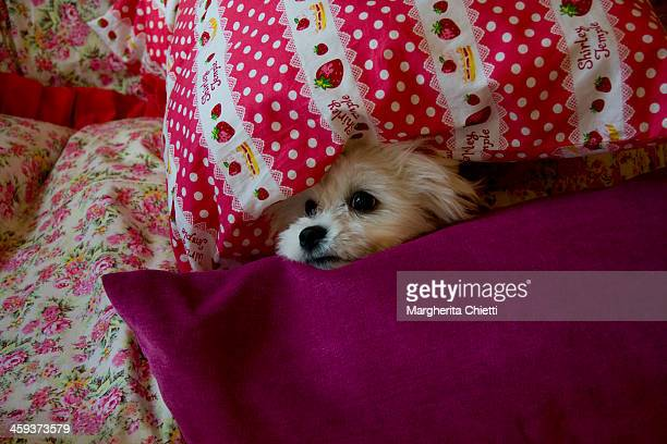 Dog between cuschions
