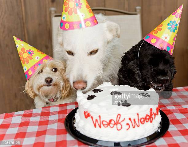 dog birthday party eating cake - funny birthday stock pictures, royalty-free photos & images