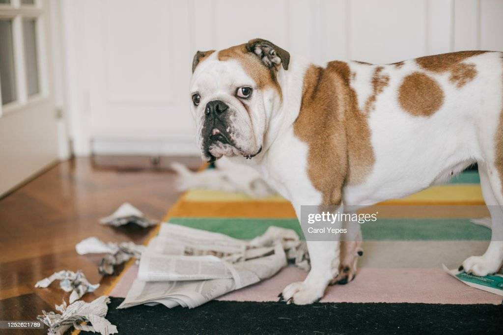 dog bite some newspaper while alone at home : Stock Photo