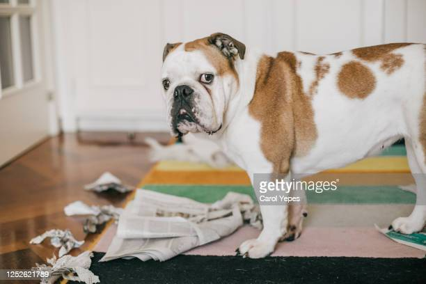 dog bite some newspaper while alone at home - animal behavior stock pictures, royalty-free photos & images