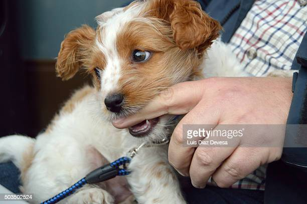 dog biting finger - chinook dog stock photos and pictures