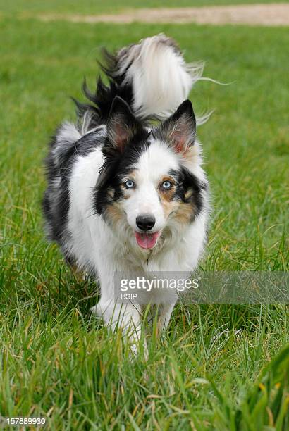 Dog Border Collie Adult Female Domestic Dog Border Collie Adultcanis Lupus Familiaris Domestic Dog Dog Canid Mammal