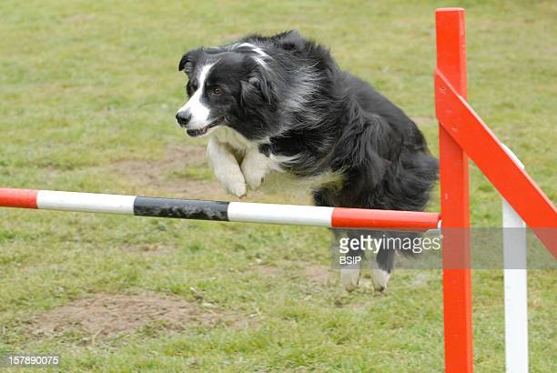Dog Border Collie Domestic Dog Doing An Agility Exercise Border Colliecanis Lupus Familiaris Domestic Dog Dog Canid Mammal