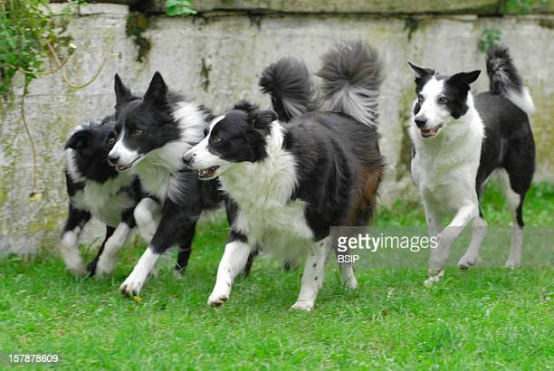Dog Border Collie Four Border Collie Running