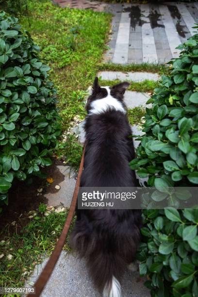 dog, border collie - border collie fotografías e imágenes de stock
