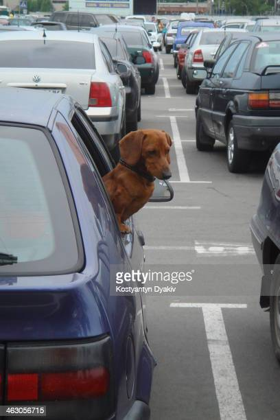 Dog breed dachshund protects the car in the parking near the supermarket.