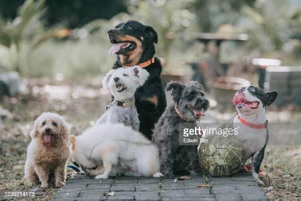 raza de perro rottweiler, bulldog francés, caniche de juguete, terrier escocés, pomerania afuera bajo la luz del sol - un animal fotografías e imágenes de stock