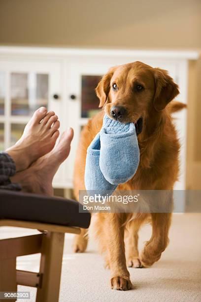 dog bringing slippers to owner - bouche des animaux photos et images de collection