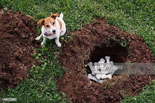 Dog burying bones
