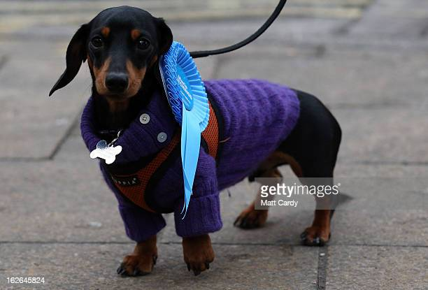 A dog called Otto belonging to Conservative MP Greg Barker wears a rosette supporting the Conservative candidate Maria Hutchings on February 25 2013...
