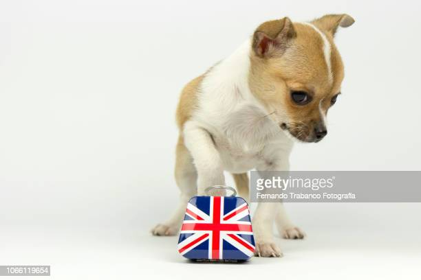 Dog carrying a english suitcase