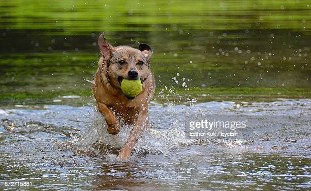 Dog Carrying Ball In Mouth While Running In Lake