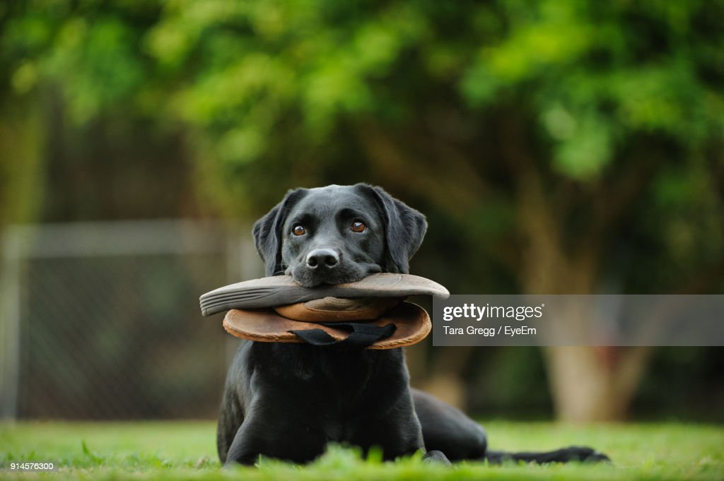 b2c9adaab Dog Carrying Flipflop In Mouth While Sitting On Field Stock Photo ...
