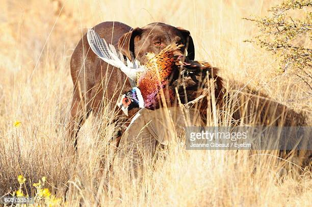Dog Carrying Pheasant In Mouth
