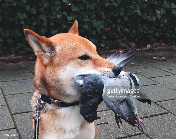 dog carrying pigeon in mouth - dead dog stock pictures, royalty-free photos & images