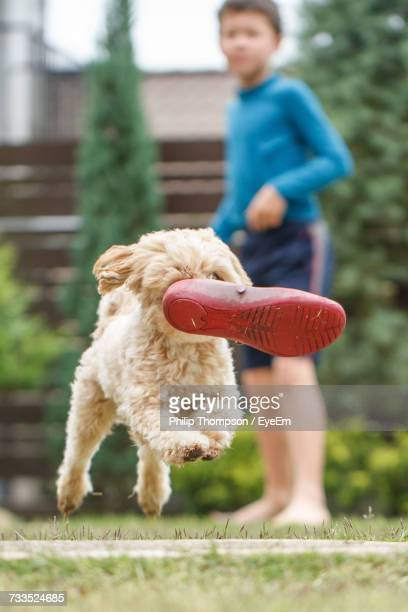 Dog Carrying Shoe In Mouth And Running On Field With Boy In Background At Yard