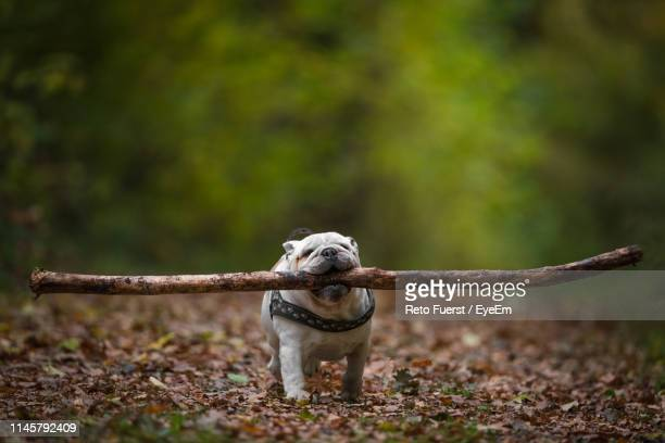 dog carrying stick in mouth while walking on land at forest during autumn - bastoni foto e immagini stock