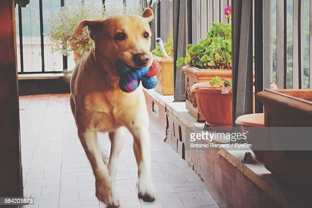 Dog Carrying Toy In Mouth While Running At Home
